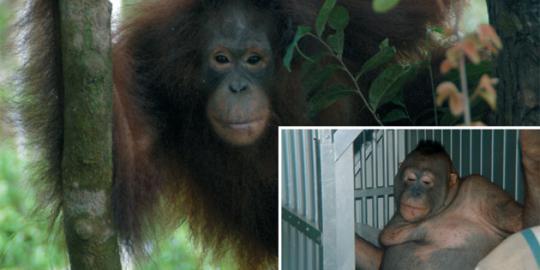 kisah-pelacur-orangutan-di-rimba-borneo