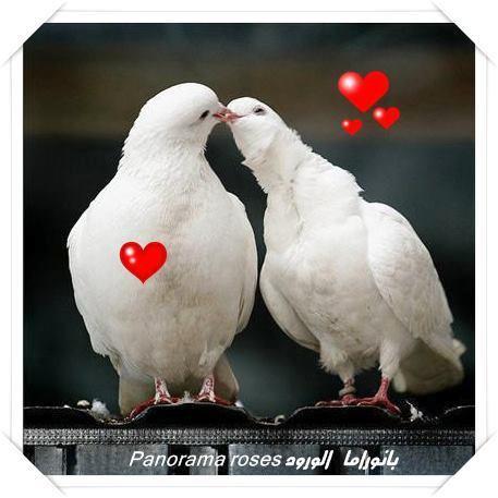 Cinta merpati putih